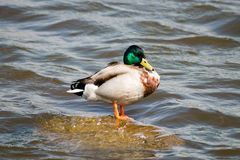 Mallard Drake. Standing on the stone Royalty Free Stock Images