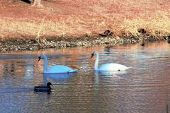 Mallard Drake and Swans on pond in Boise Idaho. Cold day with ice on the water Stock Images