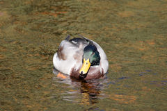 Mallard Drake. Swimmin in shallow water Stock Photo