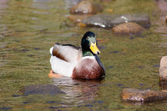 Mallard Drake. Swimmin in shallow water Royalty Free Stock Photography