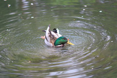 Mallard Drake swimming on a river. The Mallard Drake swimming on a river Stock Photo