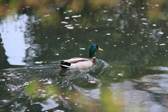 Mallard Drake swimming on a river. The Mallard Drake swimming on a river Stock Photos