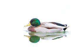 Mallard drake swimming in water Royalty Free Stock Image