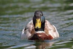 Mallard drake swimming on water Royalty Free Stock Images