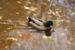 Mallard Drake Swims Amidst Autumn Leaves. Autumn leaves litter the city park where this Mallard Drake swims in a pond at Boise, Idaho Stock Images