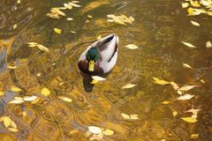 Mallard Drake Swims Amidst Autumn Leaves. Autumn leaves litter the city park where this Mallard Drake swims in a pond at Boise, Idaho Royalty Free Stock Image