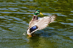 Mallard Drake Taking Flight. Over the green water lake Stock Images