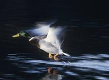 Mallard drake taking off motion blur Stock Image