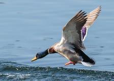 Mallard Drake About to Touch Down. Mallard Drake Landing in a Lake Stock Photo