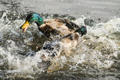 Mallard Drake. Two adult Mallard Drakes, fighting with each other Stock Images