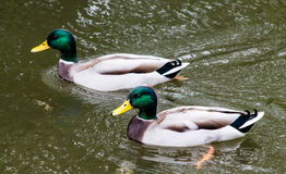 Mallard Drake. Two adult Mallard drakes, swimming in the canal Stock Images