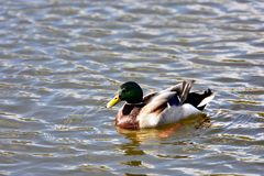 Mallard Drake. On the water Stock Photo