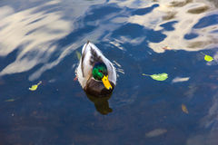 A mallard drake in water. A mallard drake in blue water Royalty Free Stock Images