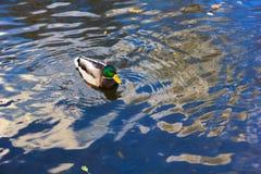 A mallard drake in water. A mallard drake in blue water Stock Photography