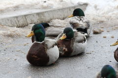 Mallard-Drakes (Anas platyrhynchos). Mallard Drakes resting on a piece of ice on a frozen pond Stock Photos
