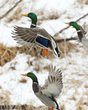 Mallard Drakes. A group of Mallard Drakes taking flight Stock Photo