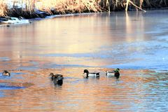 Mallard Drakes and hens on pond in Boise Idaho. Cold day with ice on the water Royalty Free Stock Photography