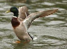 Mallard Duck. A male Mallard Duck stretching his wings Stock Images