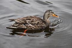 Mallard Duck. A mallard duck swimming on Sprague Lake in Rocky Mountain National Park, Colorado Royalty Free Stock Photo