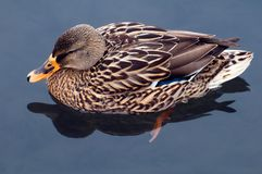 Mallard duck. Side view of female Mallard duck in water Royalty Free Stock Images