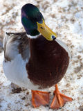 Mallard duck. In winter on snow Royalty Free Stock Photo