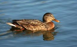 Mallard Duck. Female mallard duck floating on a lake Royalty Free Stock Photo