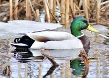Mallard Duck. A male mallard duck swimming in a swamp Stock Photo