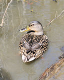 Mallard Duck. A female mallard duck swimming in a pond Royalty Free Stock Image