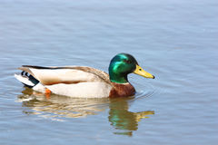 Mallard Duck. A solo male Mallard duck paddles through the water Royalty Free Stock Image