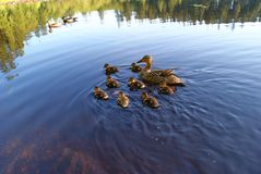 Mallard duck. A female mallard duck with her ducklings stock photography