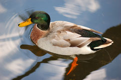Mallard duck. The mallard duck ( Anas platyrhynchos ) is a brightly colored duck common around the world stock photos