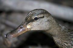 Mallard Duck. Close up of female Mallard Royalty Free Stock Images