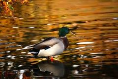 Mallard Duck. A male mallard duck stood on the bank of a pond Royalty Free Stock Image