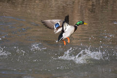 Free Mallard Duck Royalty Free Stock Images - 17096319