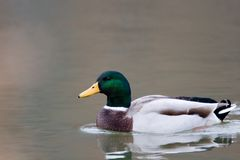 Mallard Duck. Anas platyrhynchos - mallard duck swimming in a pond royalty free stock photo