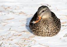 Mallard Duck. A female mallard duck sitting in the winter snow Stock Photography