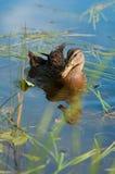 Mallard Duck. Swimming lazily on a beautiful day Royalty Free Stock Photo
