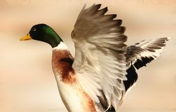 Mallard Duck 2. A male or drake mallard duck spreading it's wings Stock Photography