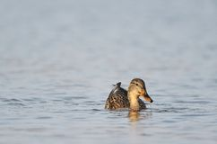 Mallard duck. Swimming in the sea Royalty Free Stock Photography