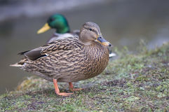 Mallard duck. Beautiful wild birds - remember the winter feeding Stock Image