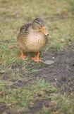 Mallard duck. Beautiful wild birds - remember the winter feeding Stock Photo