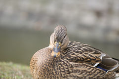 Mallard duck. Beautiful wild birds - remember the winter feeding Royalty Free Stock Photo