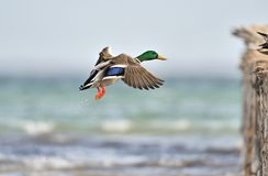 Mallard duck Royalty Free Stock Images