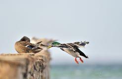 Mallard duck Royalty Free Stock Photos