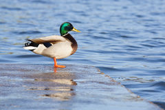 Mallard duck. A Mallard duck male sitting on the dock Stock Images