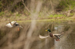 Mallard duck. A male and female mallard duck flying from a pond Royalty Free Stock Photos