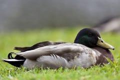 Mallard Duck Royalty Free Stock Image