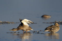 Mallard Duck. Two femal Mallard Ducks in water Royalty Free Stock Photo