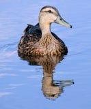 Mallard Duck. A closeup of a Mallard duck swimming in a pond royalty free stock photo