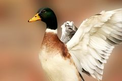 Mallard Duck. A male or drake mallard duck spreading it's wings Stock Photo